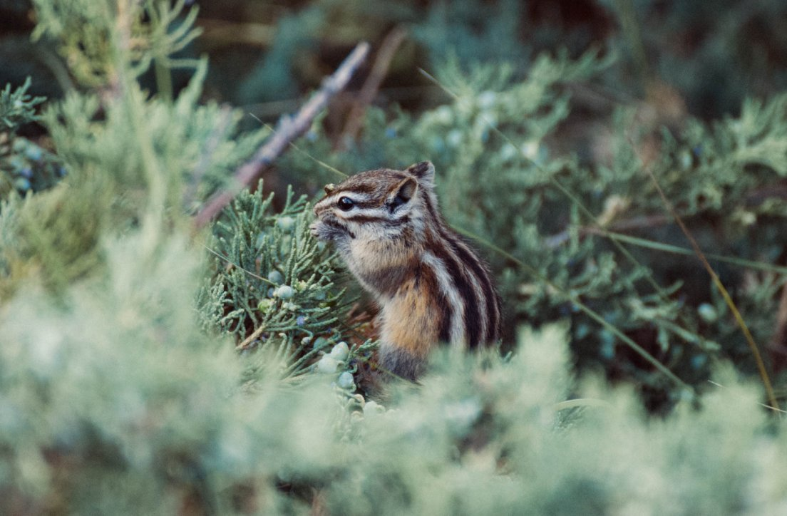 Chipmunk eating in a pine tree