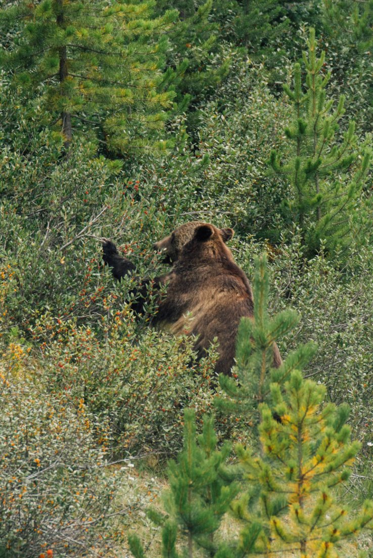 Grizzly rummaging through the bushes