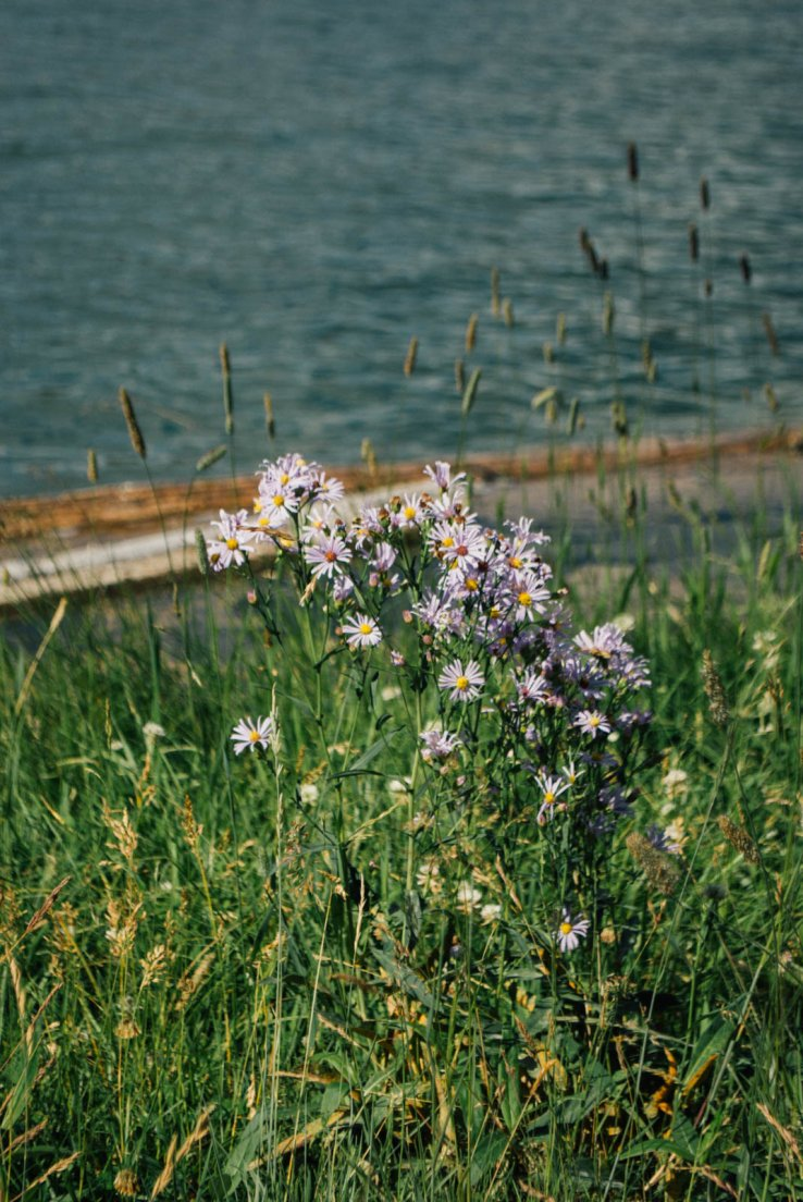 Purple daisies by the lakeshore