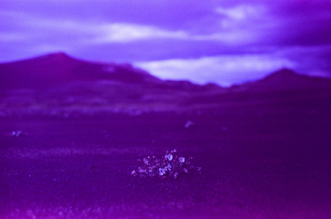 Purple-tinted photograph of flowers in the black desert, Lakagígar