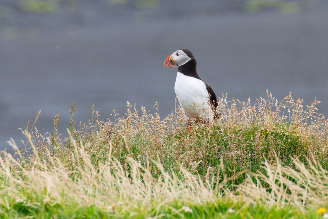 Puffin in heather