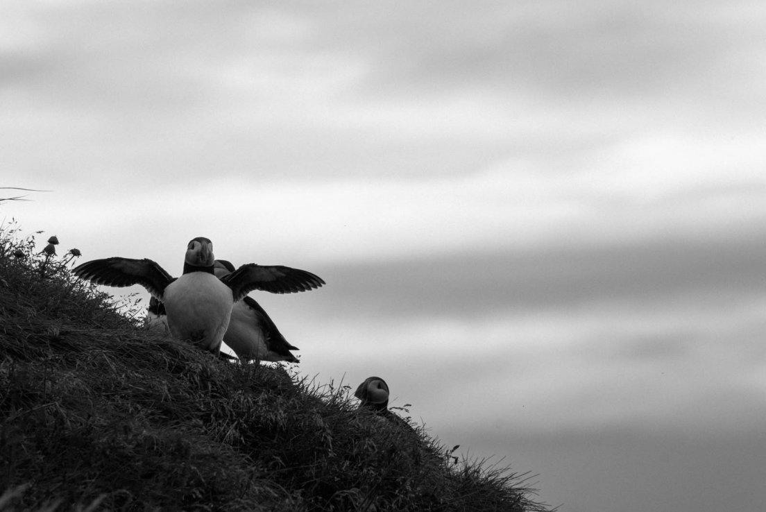 Black and white photograph of a puffin deploying its wings