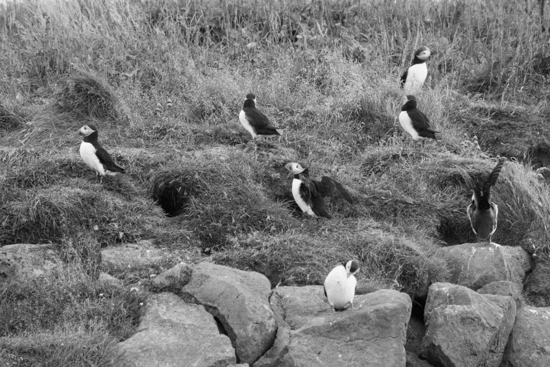 Black and white photograph of a colony of puffins