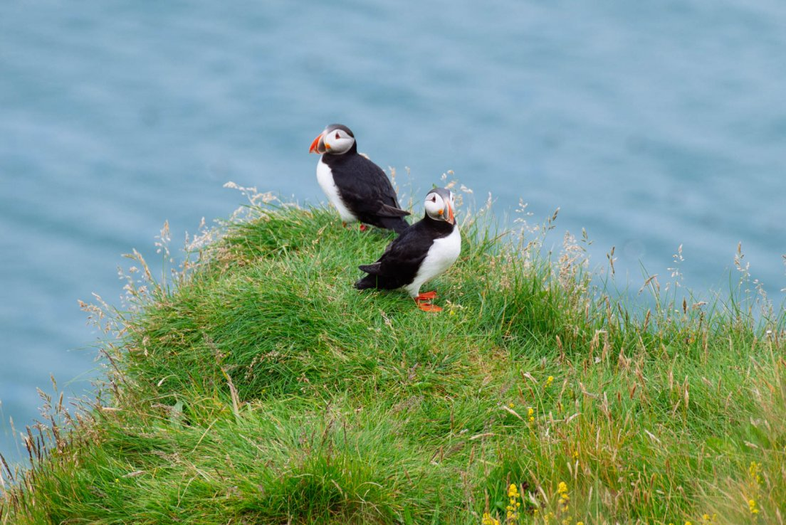 Two puffins on a cliff