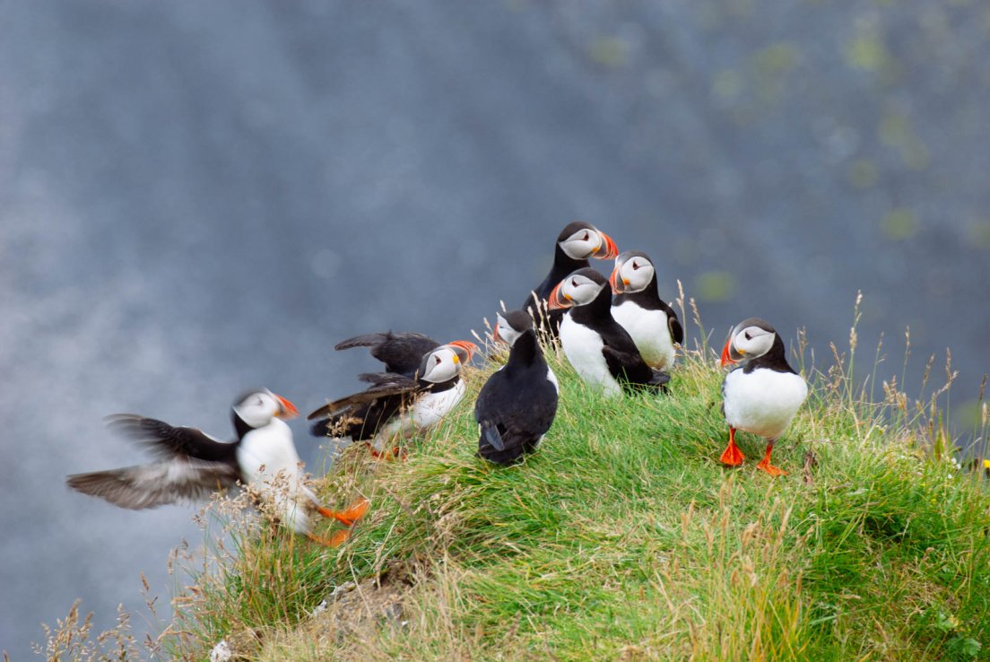 A puffin landing in a group of its peers
