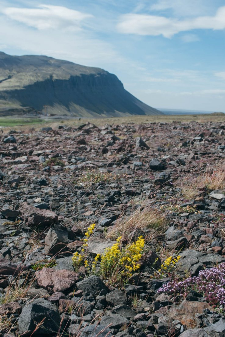 Yellow and purple flowers in a lava desert, Hekla volcano #002, Iceland, 28 july 2017