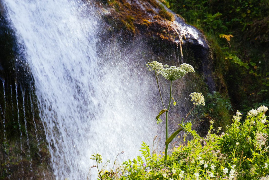Yarrow in front of a waterfall on a sunny day