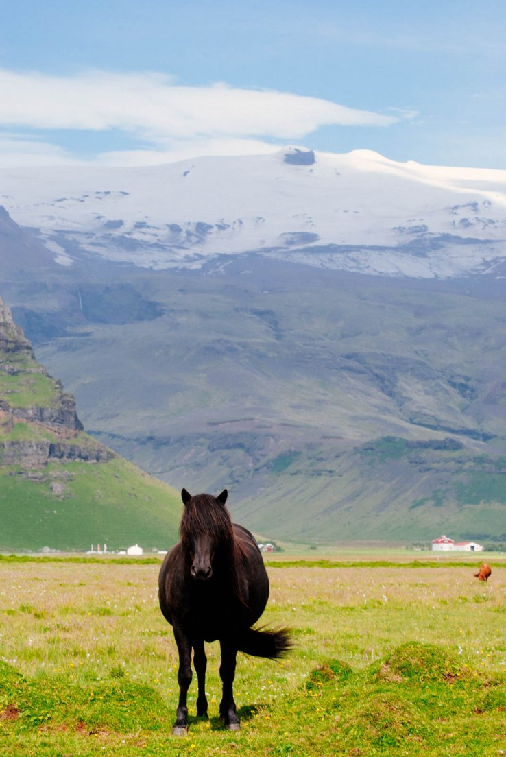 Black icelandic horse in a sunny grass field before snowy mountains