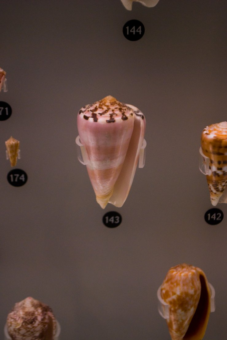 A pink and brown cone shell in Ueno Royal Museum, Ueno #072, 16 août 2011