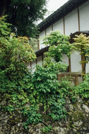Ivy growing on a mossy wall in front of a traditional japanese house
