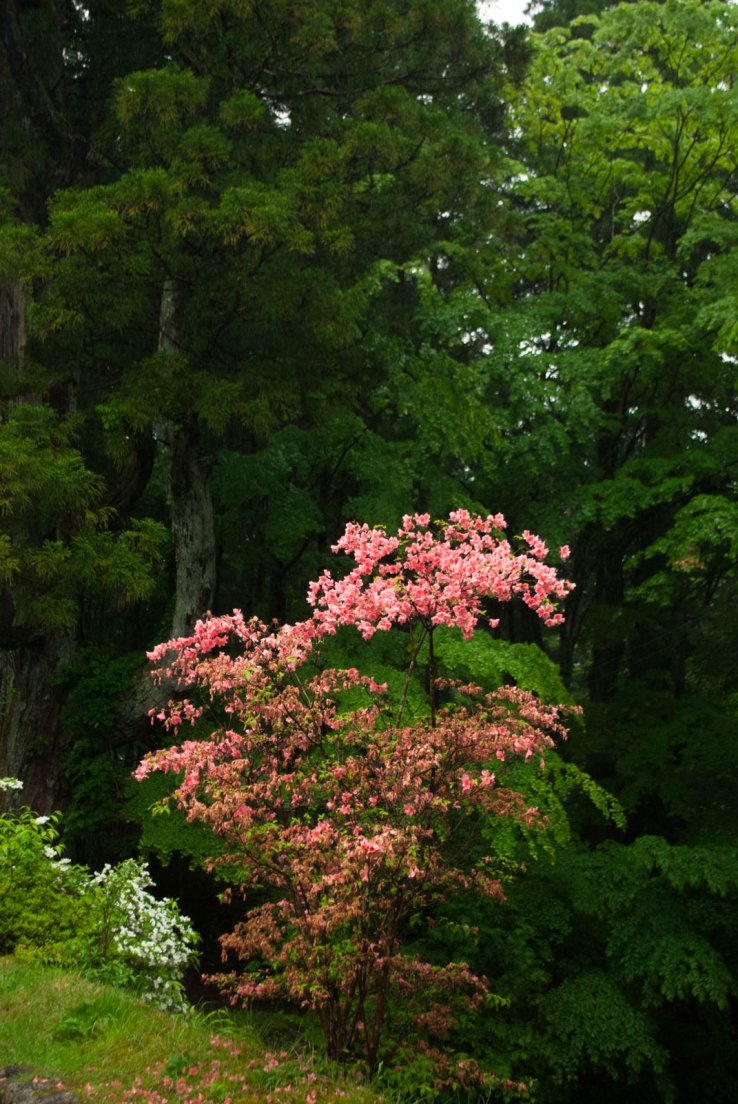 Pink blossoming tree in front of a green forest