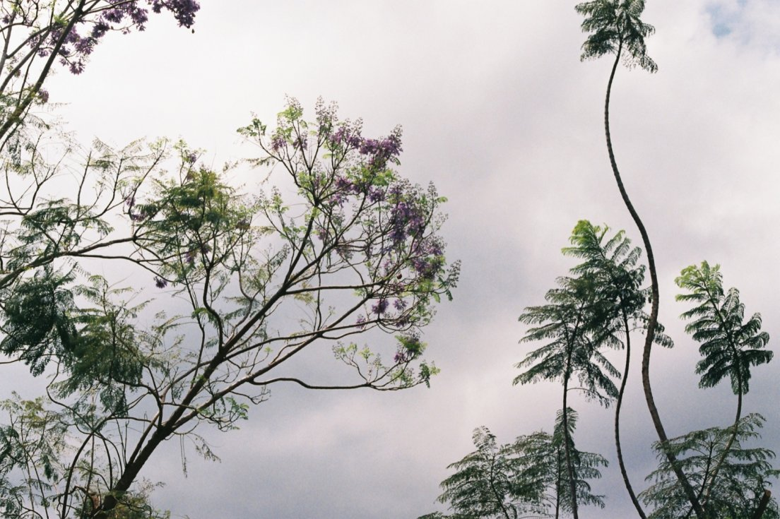 Tree with purple flowers and tree ferns