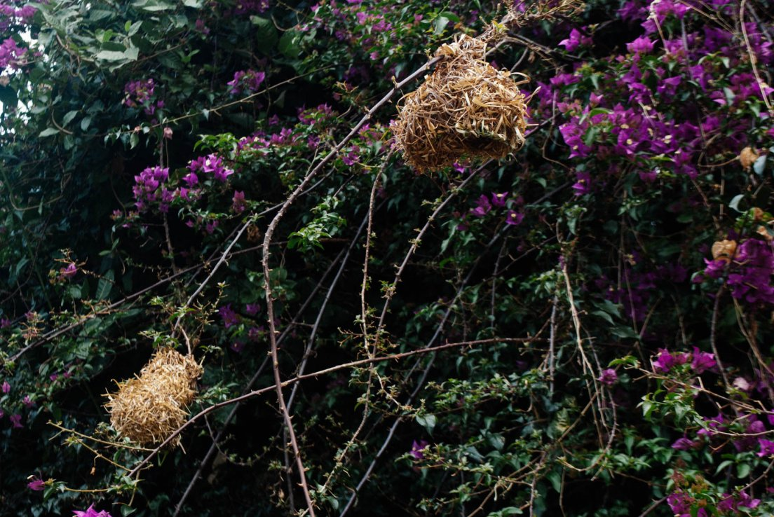 Bougainvillea with village-weaver nests