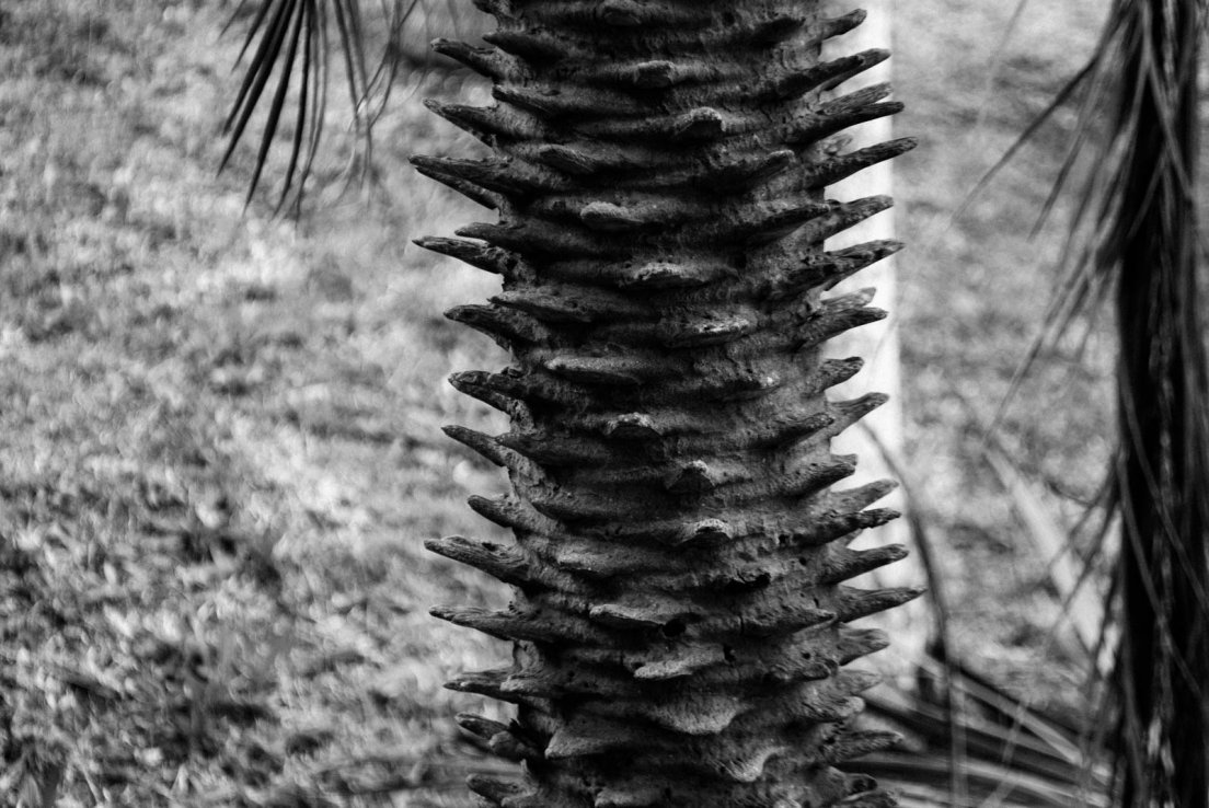 Black and white photograph of an odd trunk on a palm tree