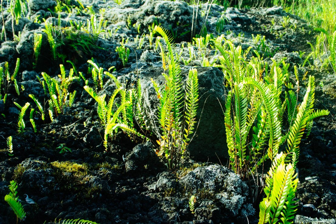 Young ferns growing up on an old lava field under the bright sun