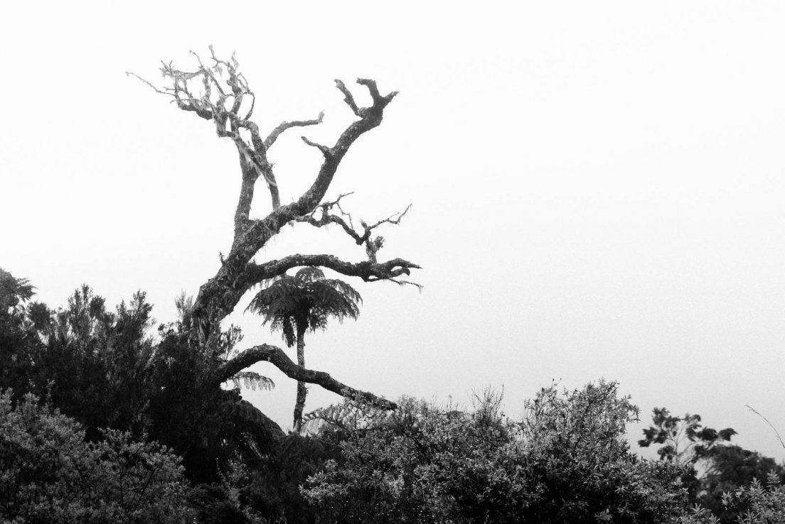 Black and white photograph of a tree fern (Cyathea borbonica or Cyathea glauca) near a dead tree in the fog of the Bébour forest