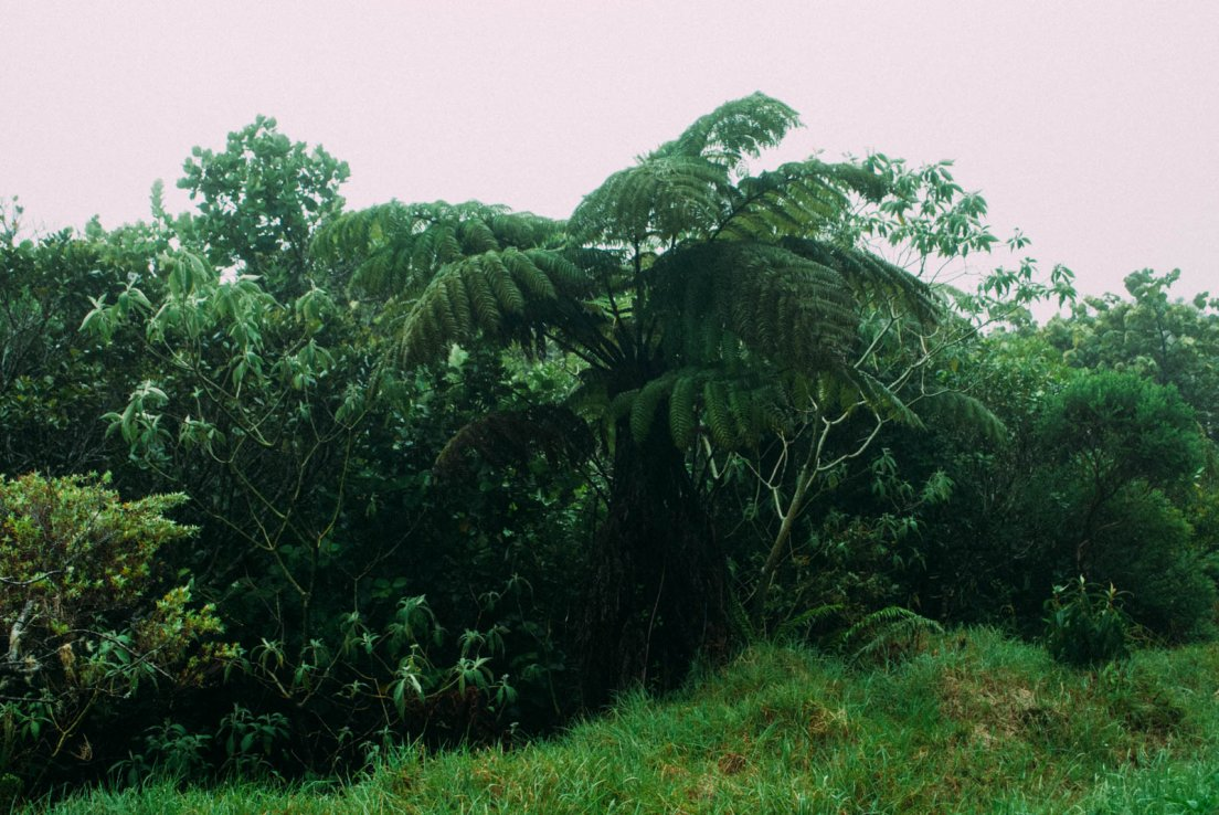 Tree fern (Cyathea borbonica or Cyathea glauca) and various other bushes in the fog of the Bébour forest