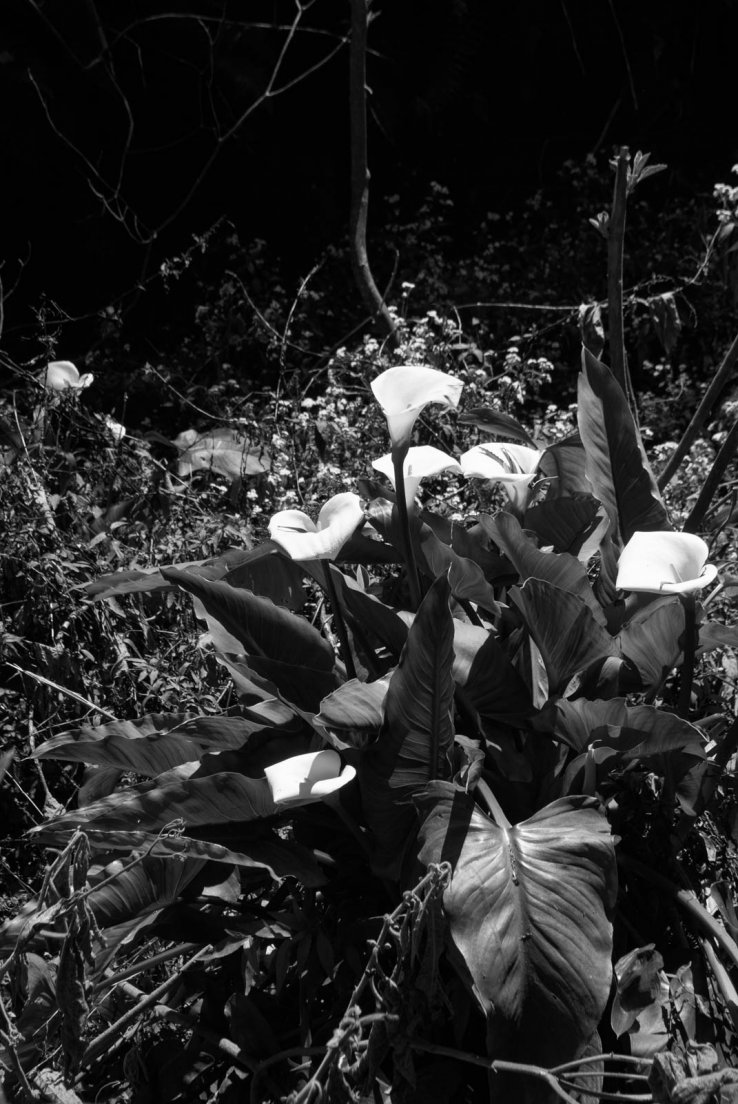 Black and white photograph of a patch of Arums (Zantedeschia aethiopica)