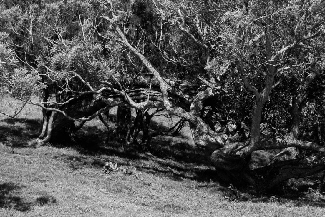 Black and white photograph of an excessively gnarled tree in a field