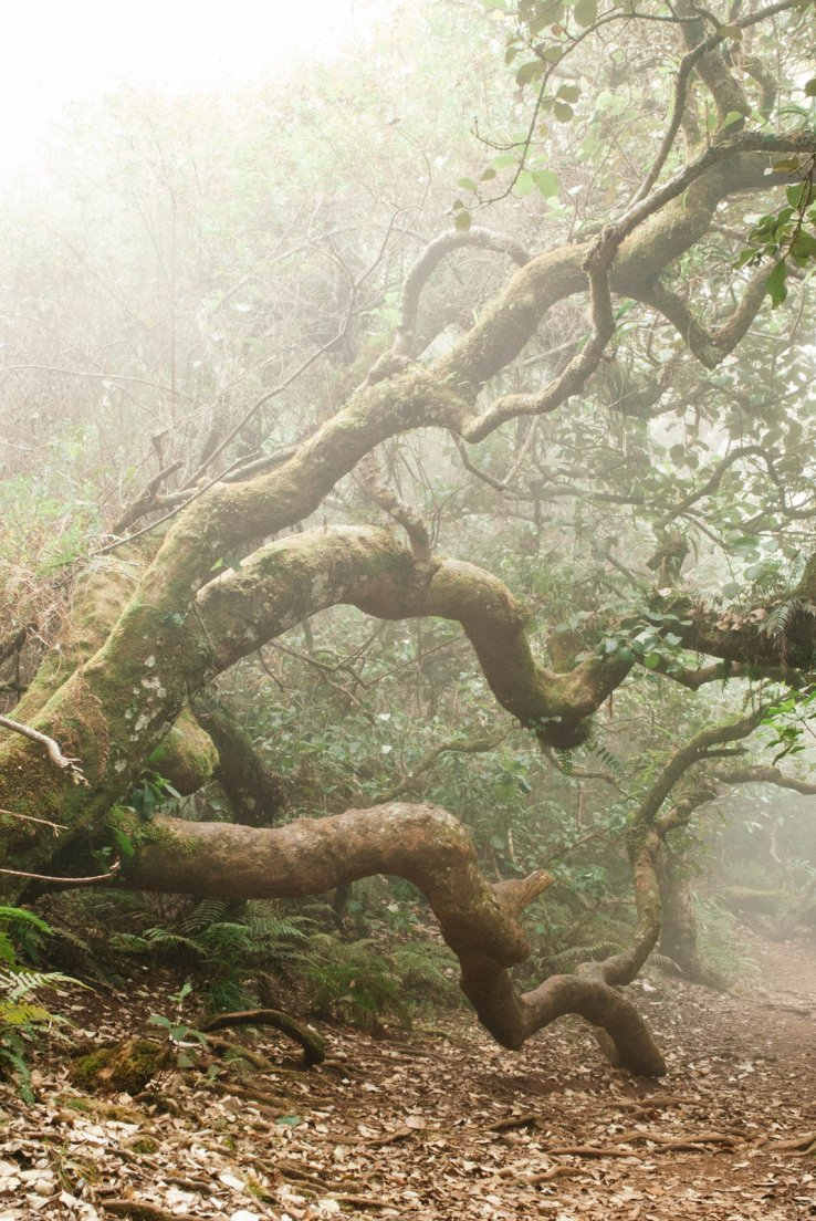Gnarly tree bunk in the fog of a tropical forest