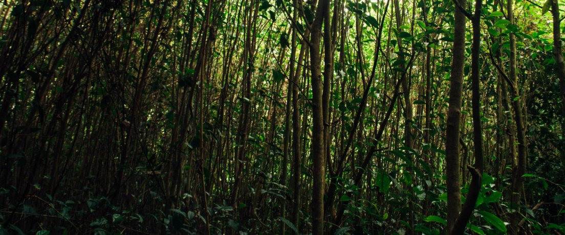 Panoramic photograph of tightly planted tea trees grown to their full size