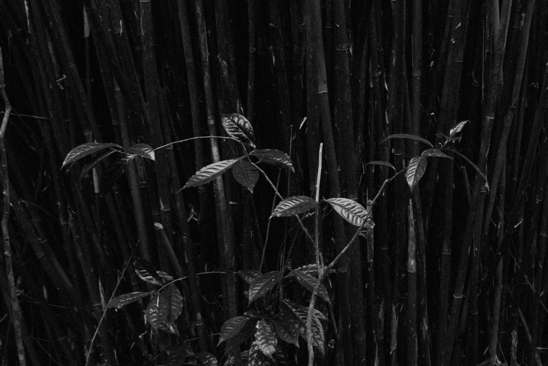 Black and white photograph of a young tea tree in front of a bamboo grove