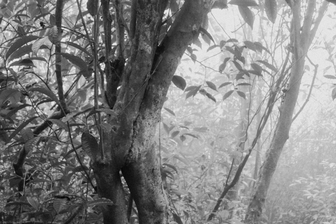 Black and white photograph of conjoined tea trees