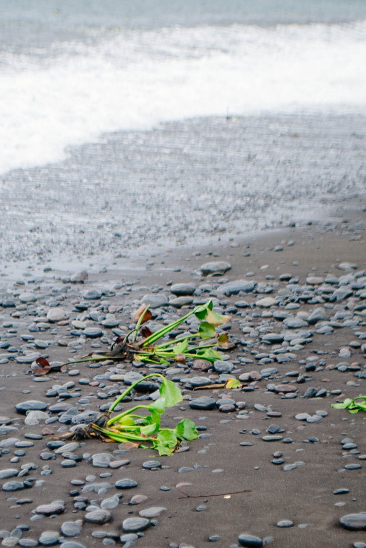Lone eichhornia crassipes commonly known as a water hiacinth stranded on a black sand sea shore