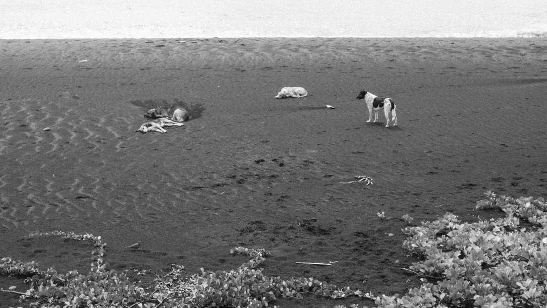 Black and white photograph of a pack of dog napping on a black sand beach