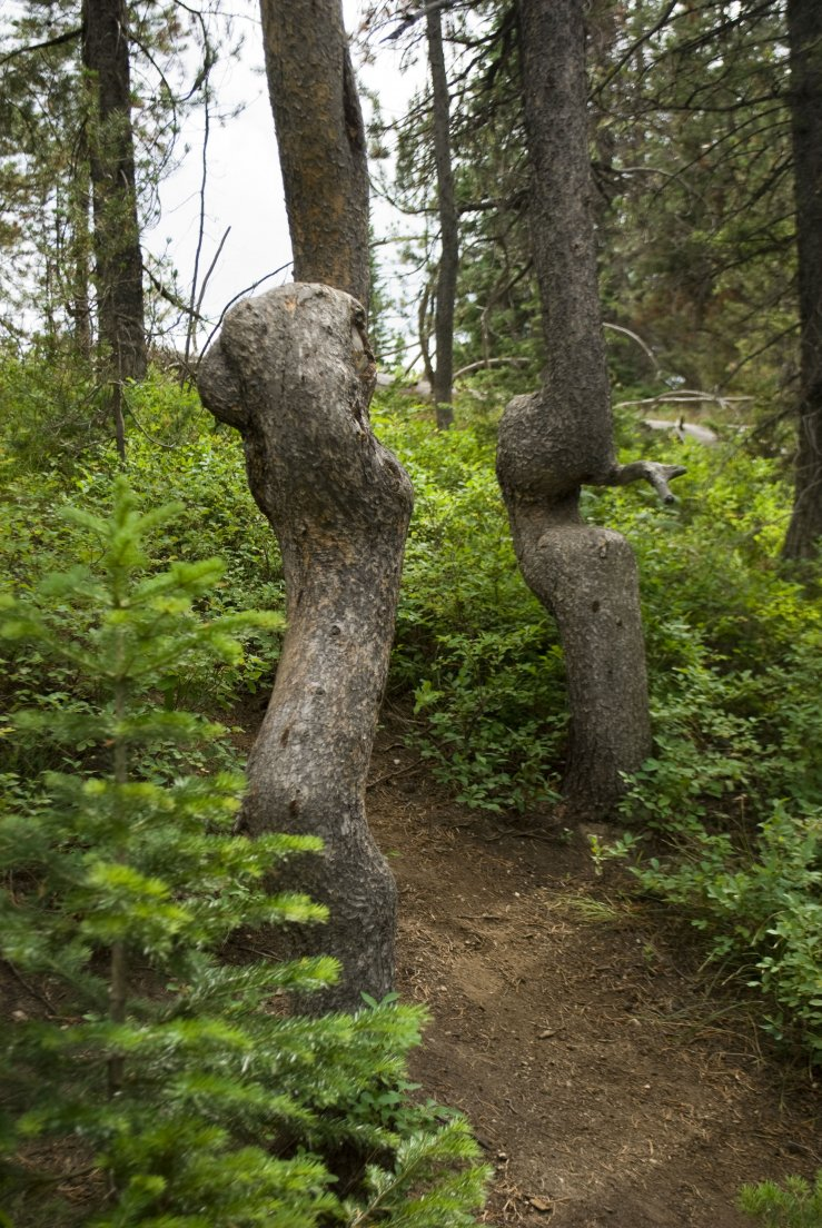 Very twisted tree trunks