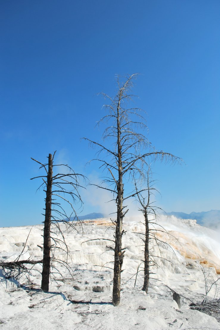 Three dead trees on the white terraces against a clear blue skye
