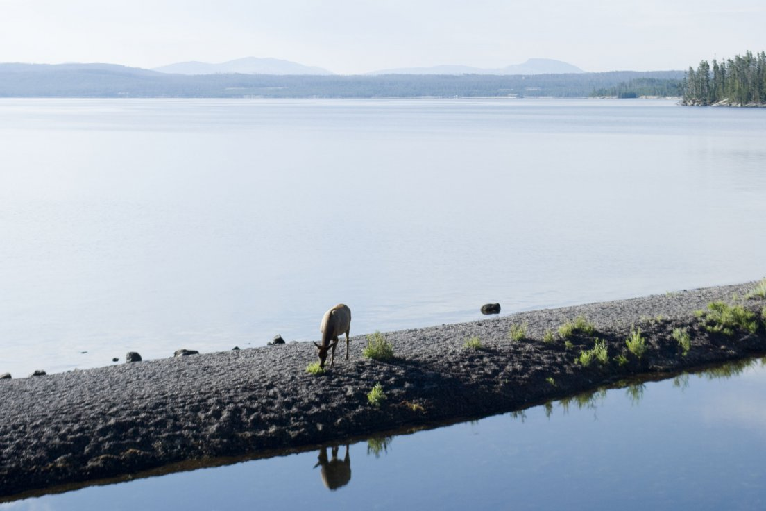 A wapiti grazing by the shores of Yellowstone lake on a sunny morning