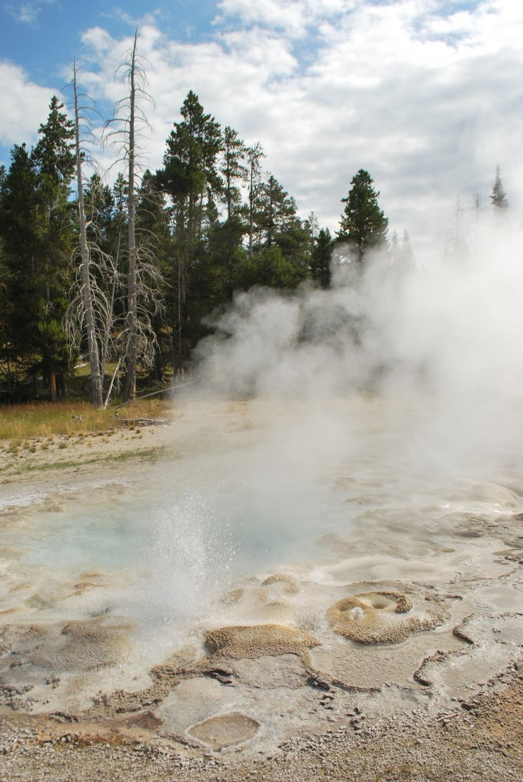 Small geyser in front of a distinctive Yellowstone landscape consisting of a mix of regular pine trees and dead white specimens