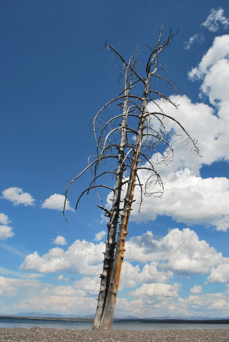 Dead tree cracked in two by lightning yet still standing on the shore of Yellowstone Lake