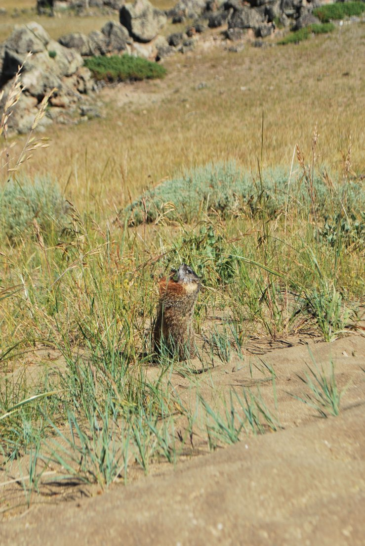 A marmot eating a straw