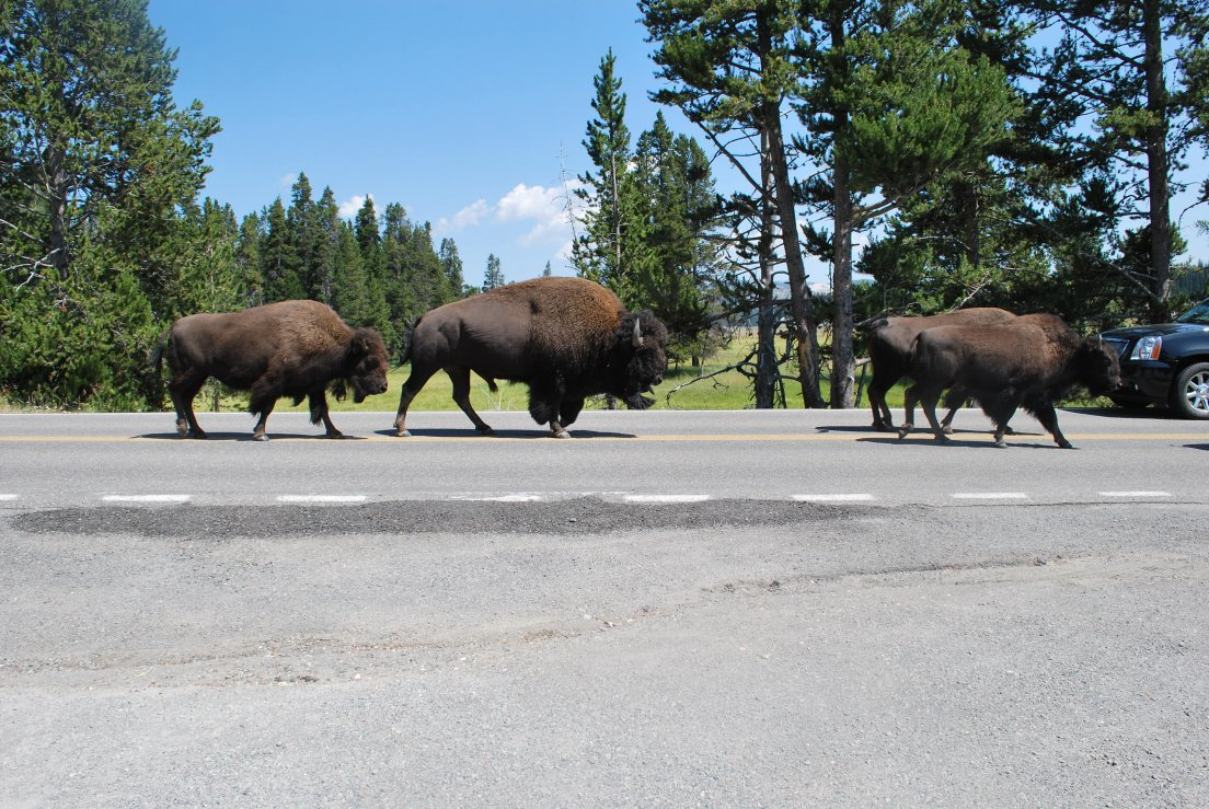 Buffalos on the highway