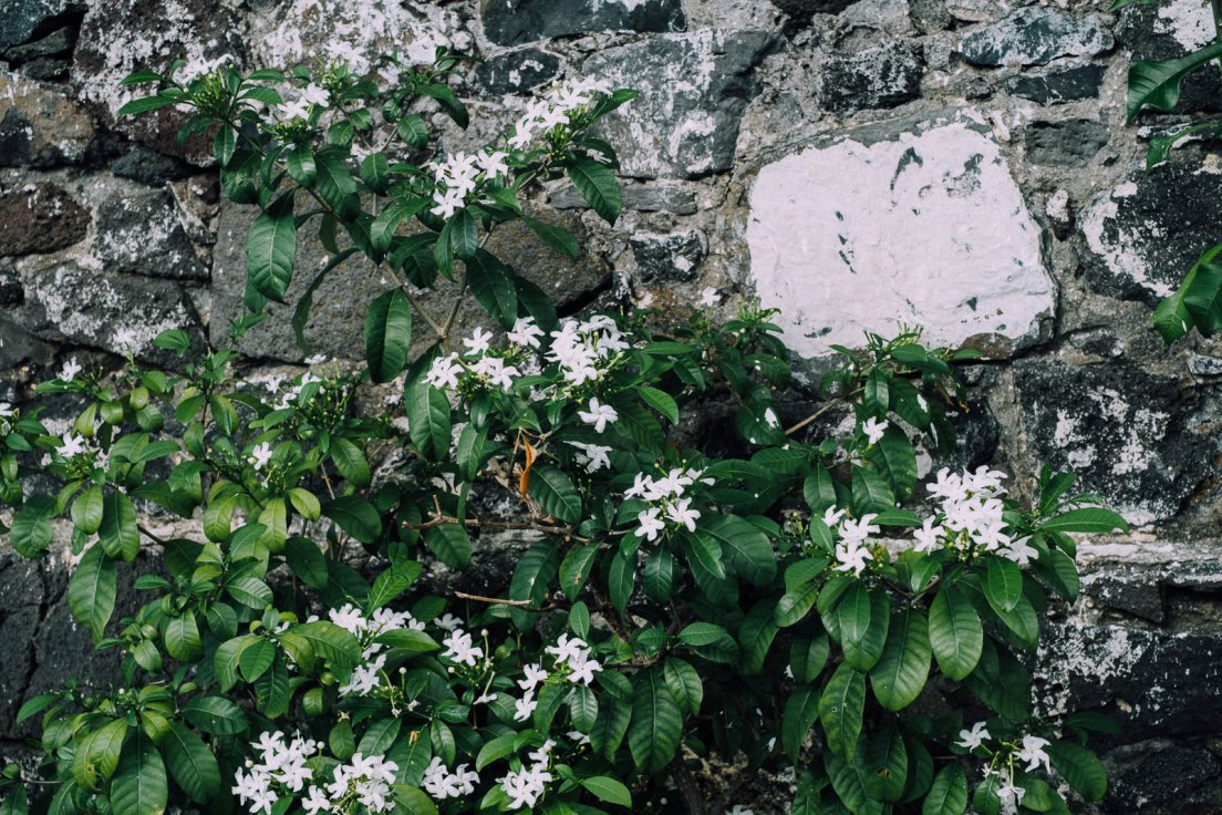Bush with white flowers upon an old battered wall, Reunion Island